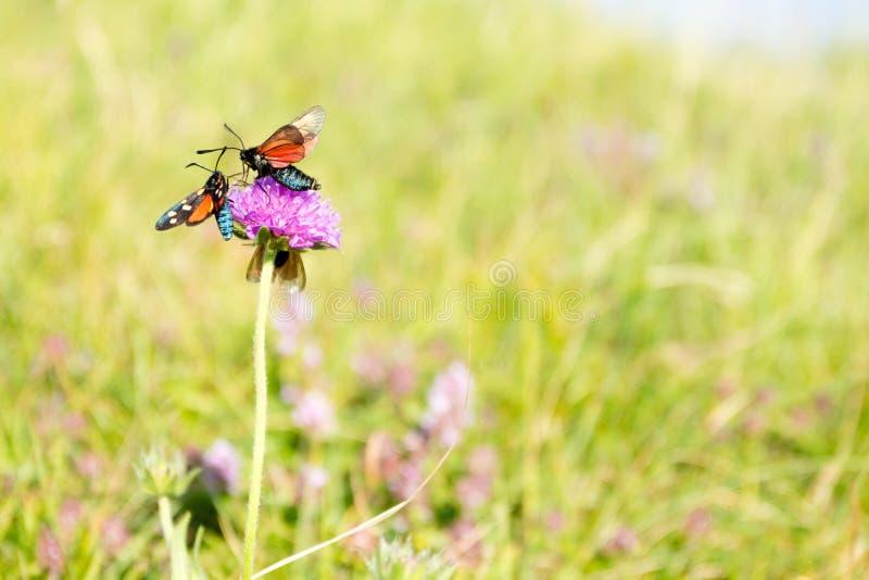 Scarlet tiger moth on clover flower close up stock photo