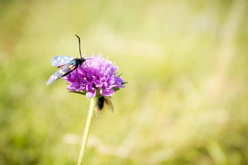 Scarlet tiger moth on clover flower close up. Nature background royalty free stock photography