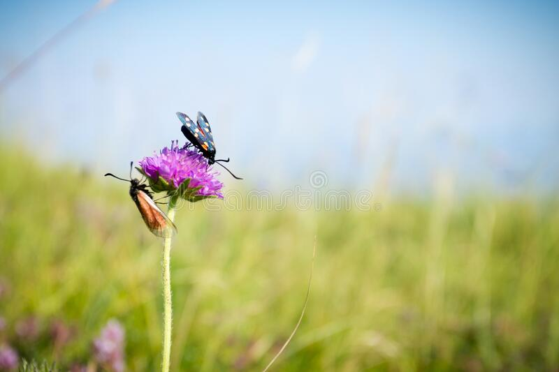 Scarlet tiger moth on clover flower close up. Nature background stock photo