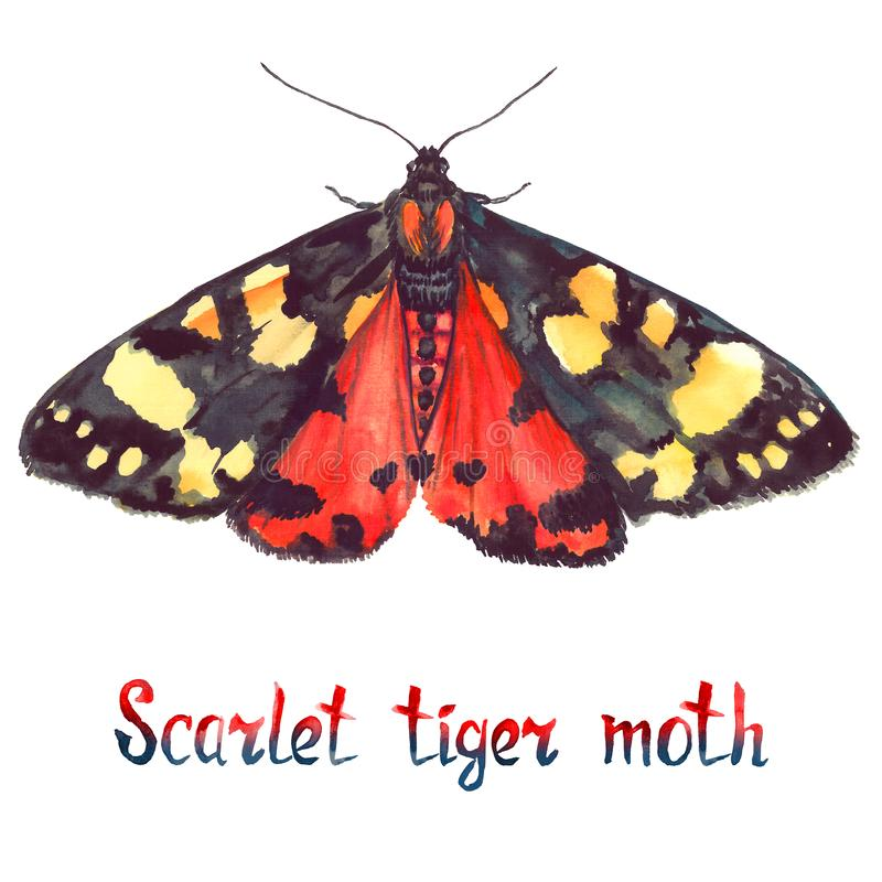 Scarlet tiger moth, hand painted watercolor illustration with inscription stock illustration
