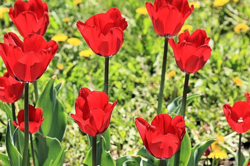 Scarlet tulips - expressions of love on the planet stock photos
