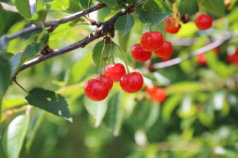 Scarlet wild cherry berries on branch on sunny day. Focus selective royalty free stock photo