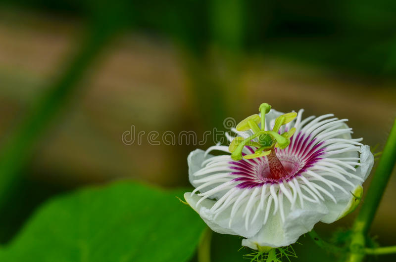 Scarletfruit passionflower stock images