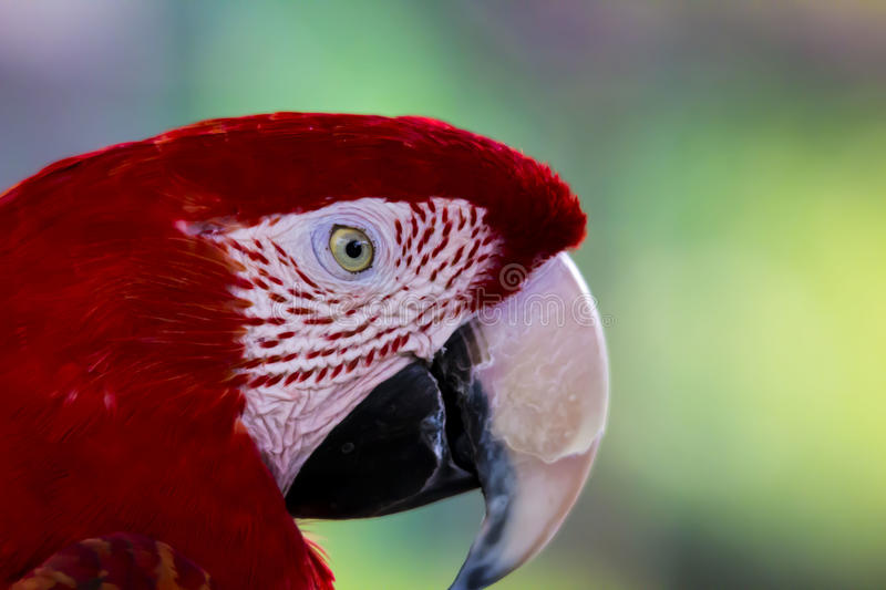 Scarlett Macaw close up stock photo