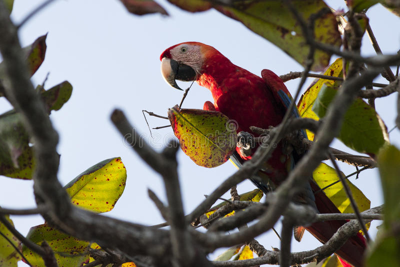 Scarlett Macaw in Tree stock images