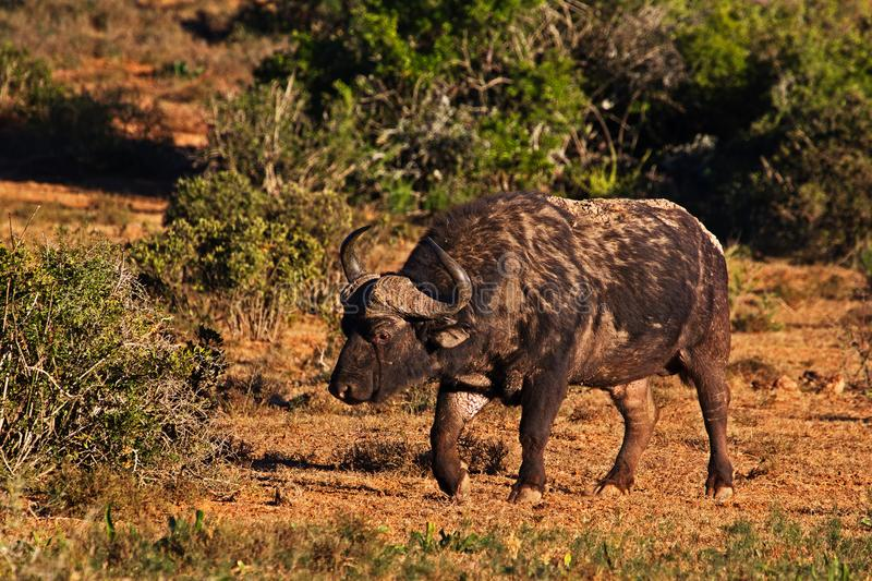 Scarred old bull buffalo walking in early morning stock photography