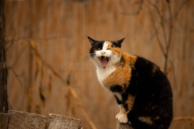 Scary Cat Yawning. Colorful cat`s scary smile. Cute cat yawning and standing on the old wooden fence stock photography