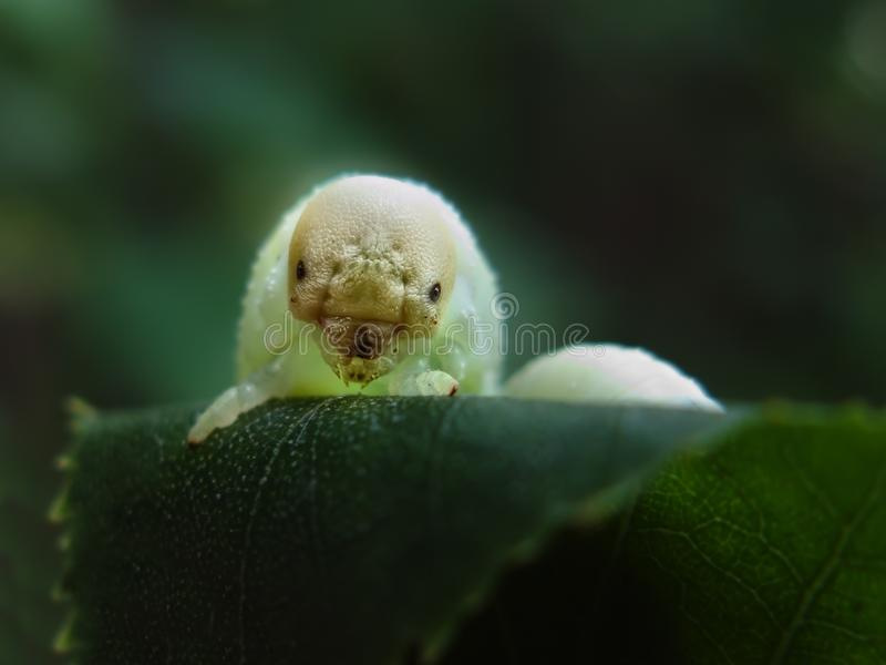 Scary caterpillar birch sawfly larva, Cimbex Femoratus. On birch leaf royalty free stock photo