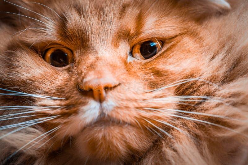 Closeup of ginger cat face. stock photos