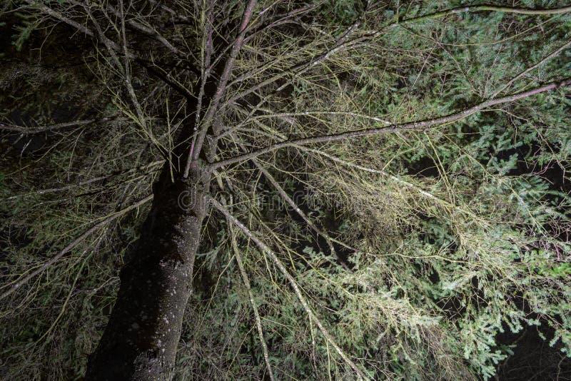 Frightening Fir Tree at Night royalty free stock photo
