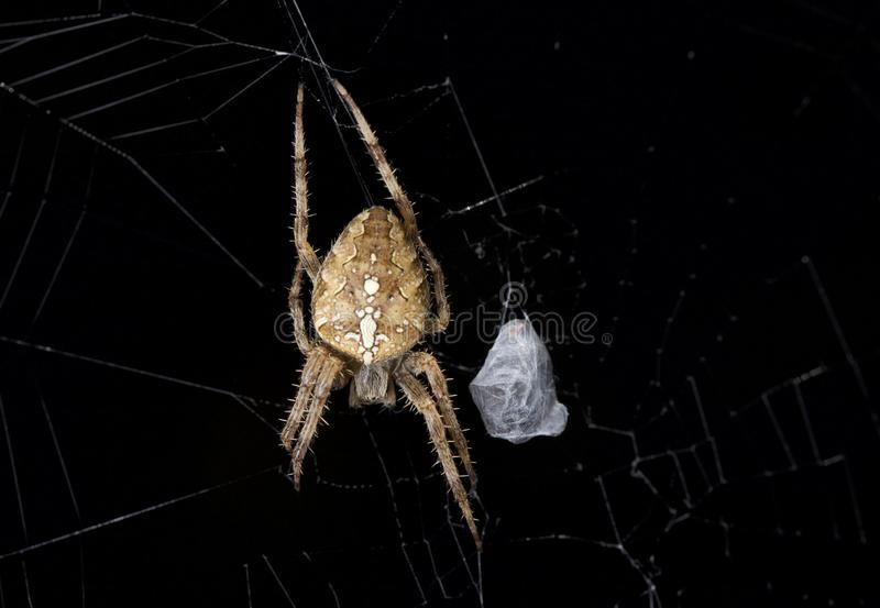 Orb Weaver spider on black. A scary orb weaver spider hanging out in its web next to a recent catch. Washington, USA stock photo