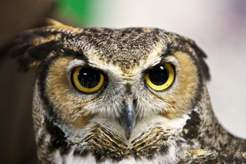 Scary owl face. With dilated pupils stock photography