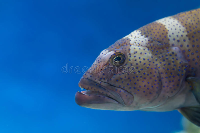 Scary predatory fish with teeth in the water aquarium royalty free stock image