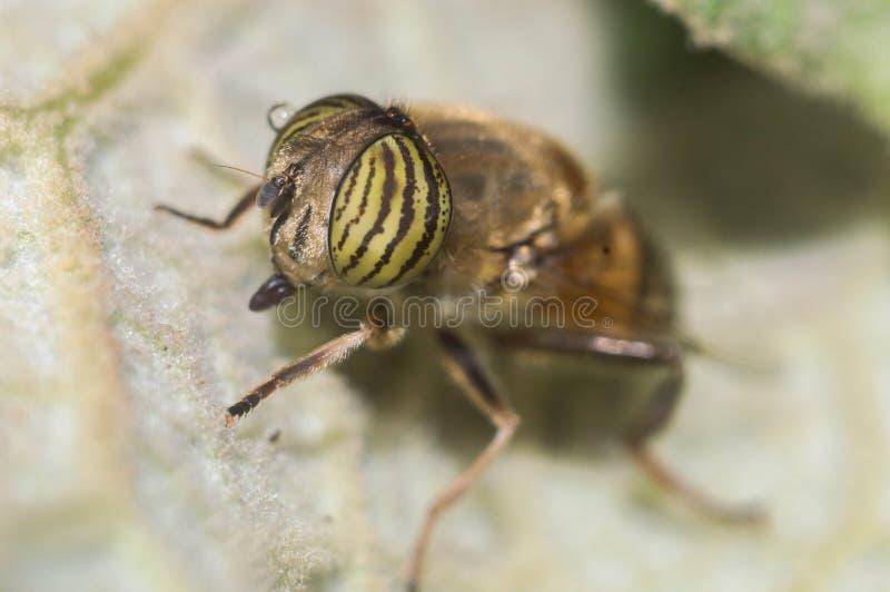 Scathophaga Stercoraria lizenzfreie stockfotos
