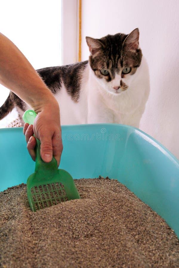 Scatola della lettiera di pulizia La mano è pulizia della scatola della lettiera con la spatola verde Sabbia di pulizia del gatto fotografia stock