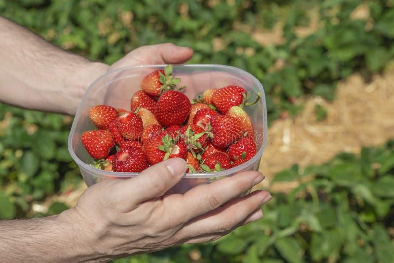 Scatola di fragole mature rosse tenute in mani su un giacimento della fragola immagine stock