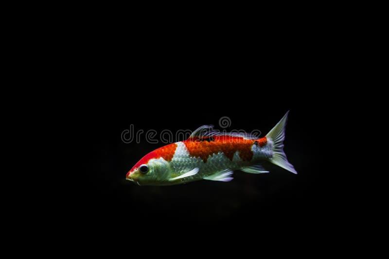 scatophagus ψαριών Argus ενυδρείων στοκ φωτογραφία