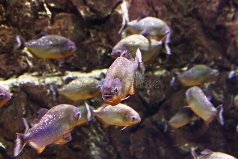 scatophagus ψαριών Argus ενυδρείων στοκ εικόνες