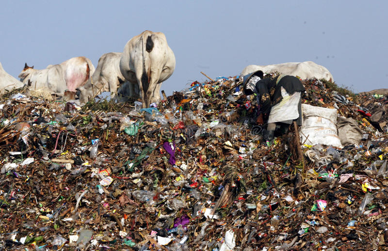Scavengers. With dozens of cows scavenge garbage in garbage disposal center in the city of Solo, Central Java, Indonesia stock photos