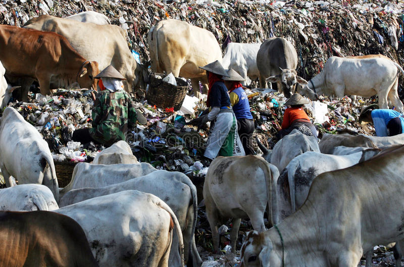 Scavengers. With dozens of cows scavenge garbage in garbage disposal center in the city of Solo, Central Java, Indonesia stock image