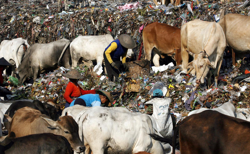 Scavengers. With dozens of cows scavenge garbage in garbage disposal center in the city of Solo, Central Java, Indonesia stock photography
