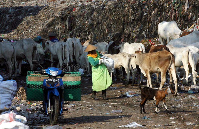 Scavengers. With dozens of cows scavenge garbage in garbage disposal center in the city of Solo, Central Java, Indonesia royalty free stock image