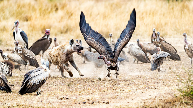 Scavengers in Kenya Africa. Group of scavengers fighting for a zebra carcass in Kenya, Africa. Hyena is chasing a vulture with wings spread wide royalty free stock images