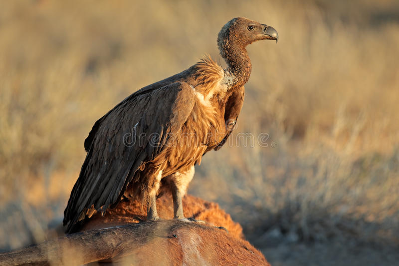 Download Scavenging White-backed Vulture Stock Image - Image: 43989917