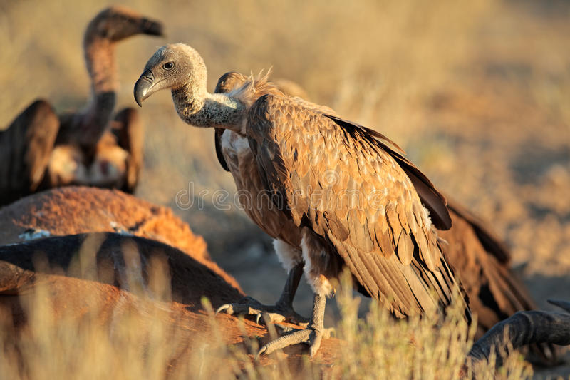 Scavenging white-backed vultures stock photos
