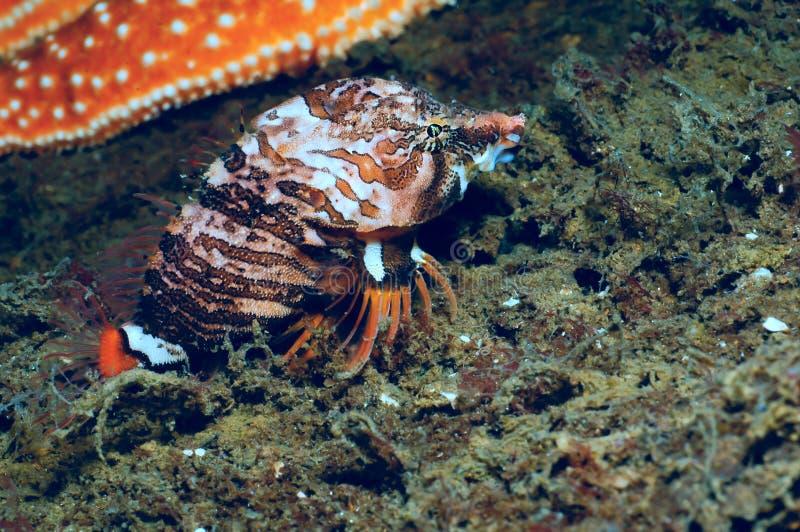 Scazzone marino di grugnito immagine stock