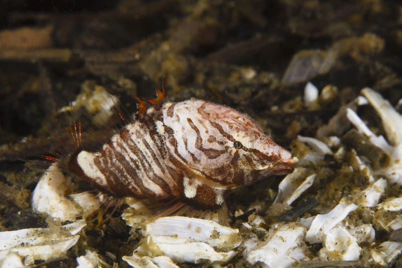 Scazzone marino di grugnito fotografia stock