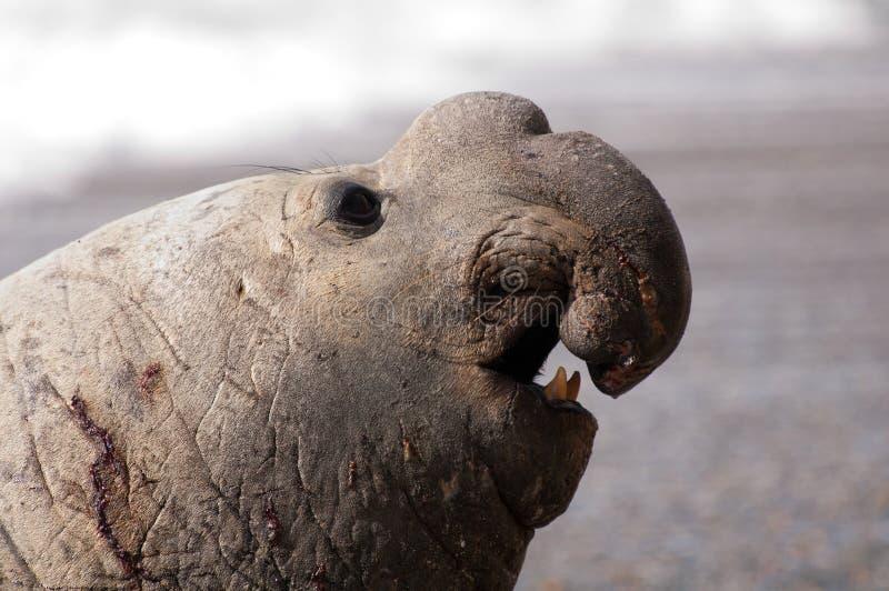 Sceau d'éléphant mâle photo stock