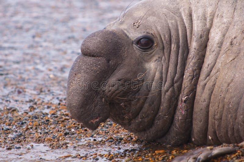 Sceau d'éléphant mâle images libres de droits