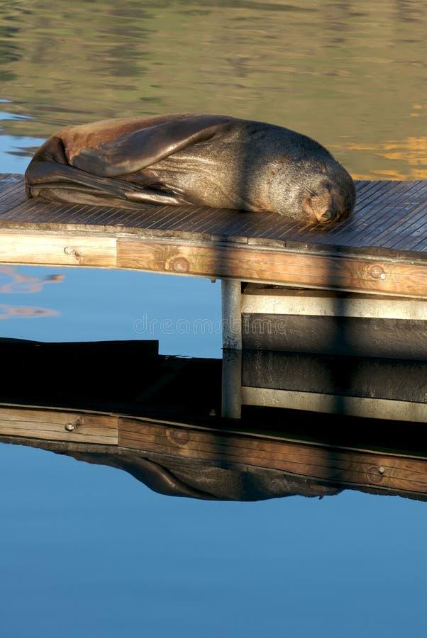 Sceau dormant le matin s images stock