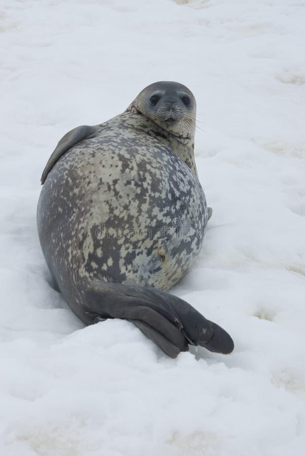 Sceaux De Weddell Se Reposant Sur La Glace. Photographie stock libre de droits