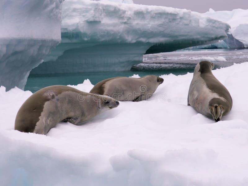 Sceaux en Antarctique photo stock