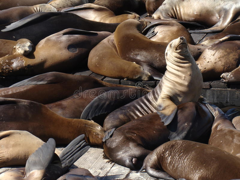Sceaux sur le pilier 39 - San Francisco photos libres de droits