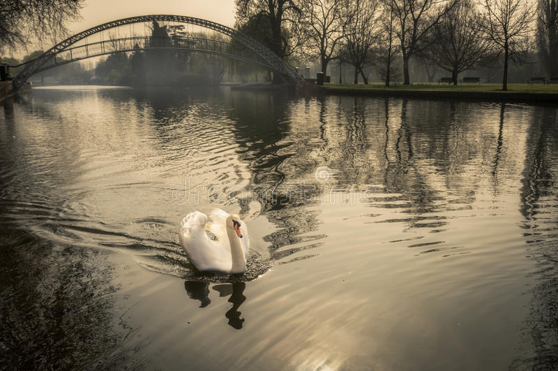 Scelga il cigno muto sul fiume grande Ouse a Bedford, Inghilterra fotografia stock