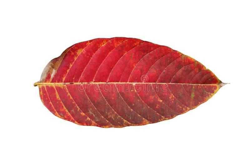 Scelga il color scarlatto caduto della foglia rossa dalla foresta isolata su fondo bianco per progettazione cambiante di colore d immagine stock