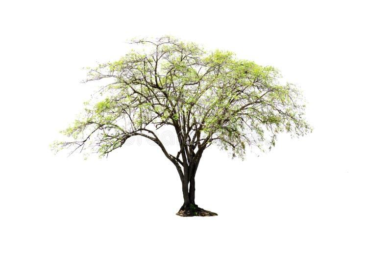 Scelga l'albero indiano della giuggiola isolato su fondo bianco fotografie stock libere da diritti