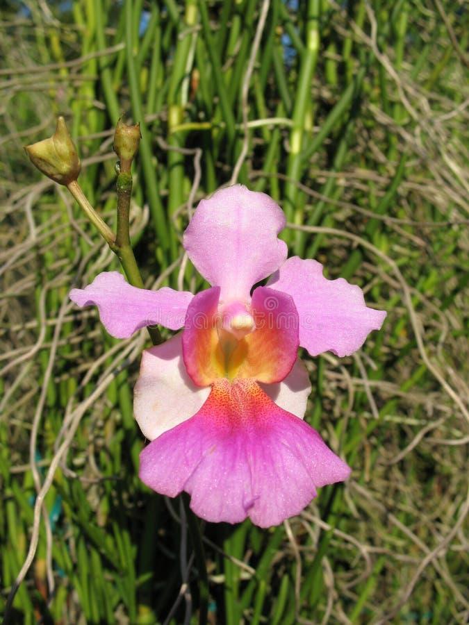 Scelga l'orchidea viola immagine stock libera da diritti