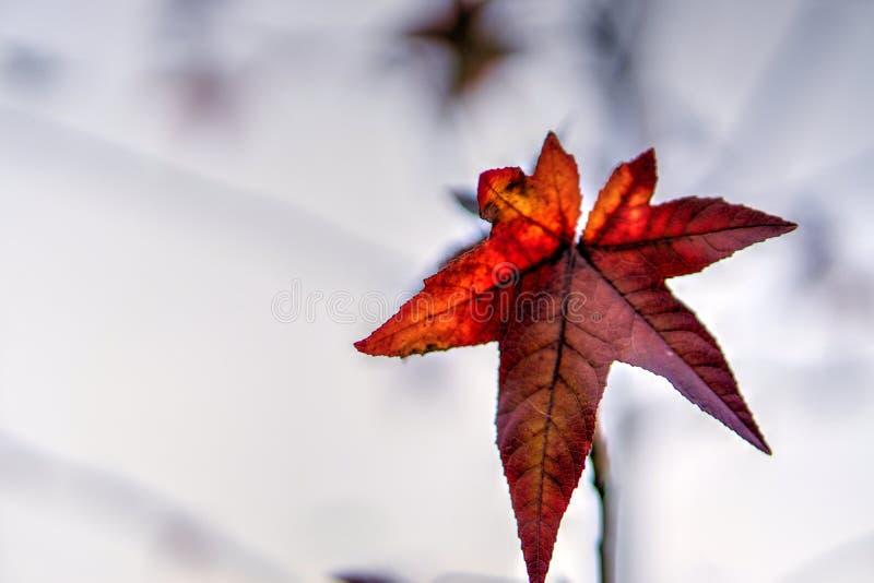 Scelga la foglia rossa in autunno su fondo leggero immagini stock