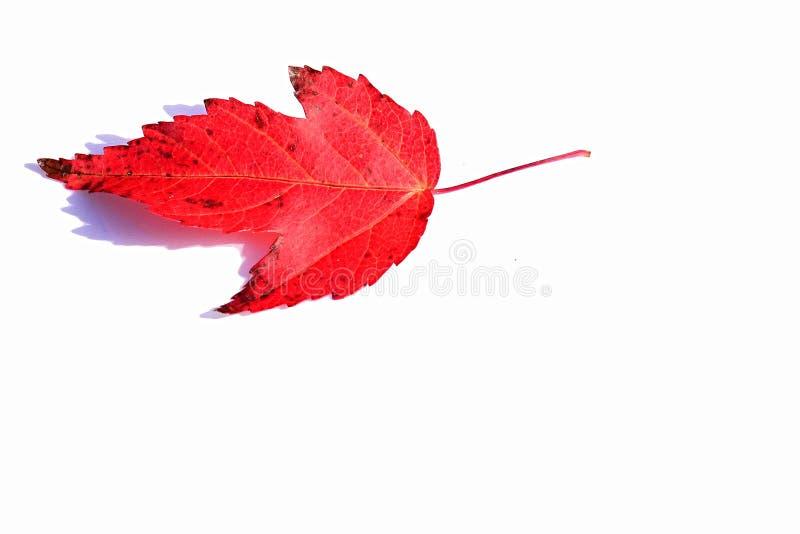 Scelga la foglia rossa di autunno del genere decorativo di Acer dell'albero di acero su fondo bianco immagine stock