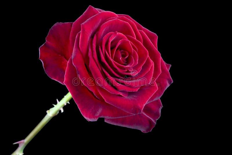Scelga Rosa rossa fotografie stock libere da diritti