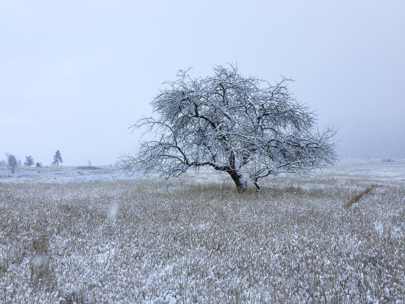 Scelga vecchio di melo in un vasto, campo spolverato neve fotografia stock
