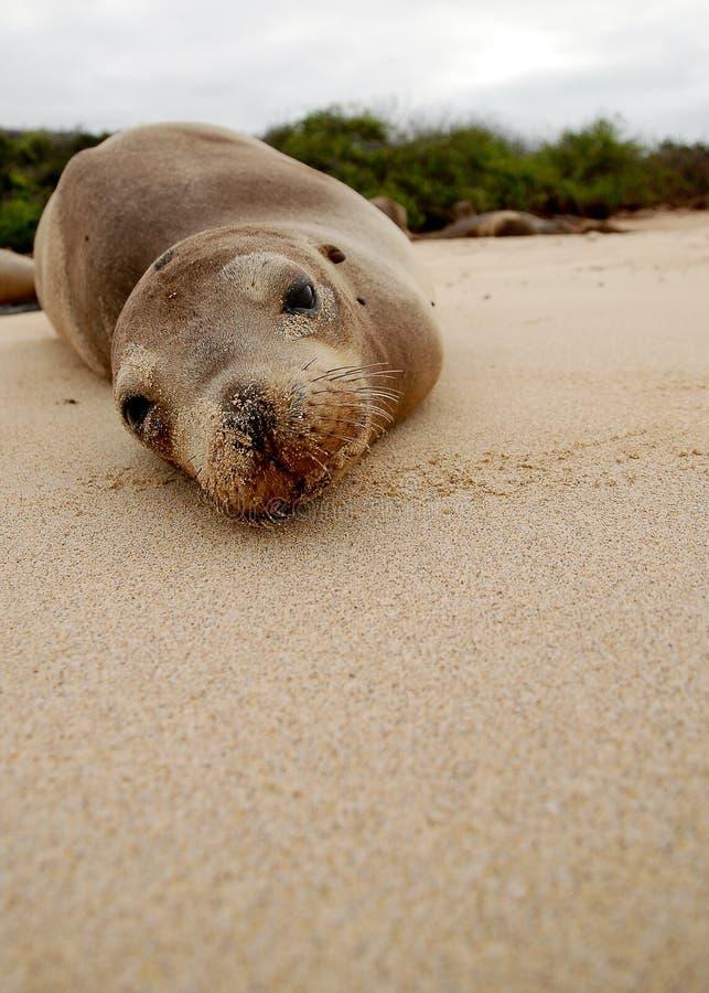 Scellez lézarder sur la plage sur des îles de Galapagos image libre de droits