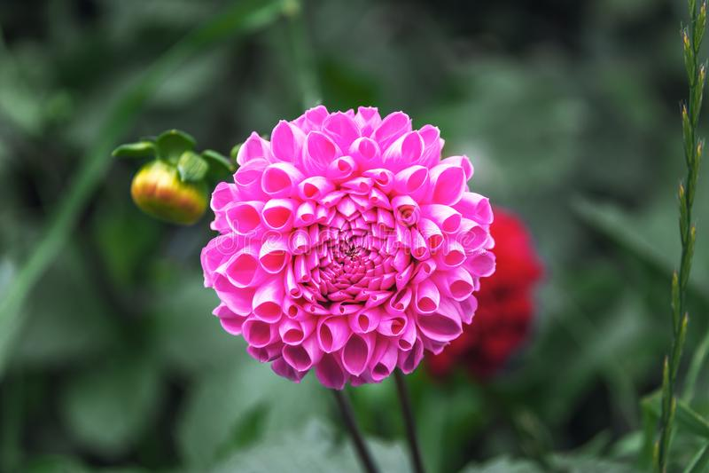 Scelta Dahlia Flower di Kens immagini stock libere da diritti