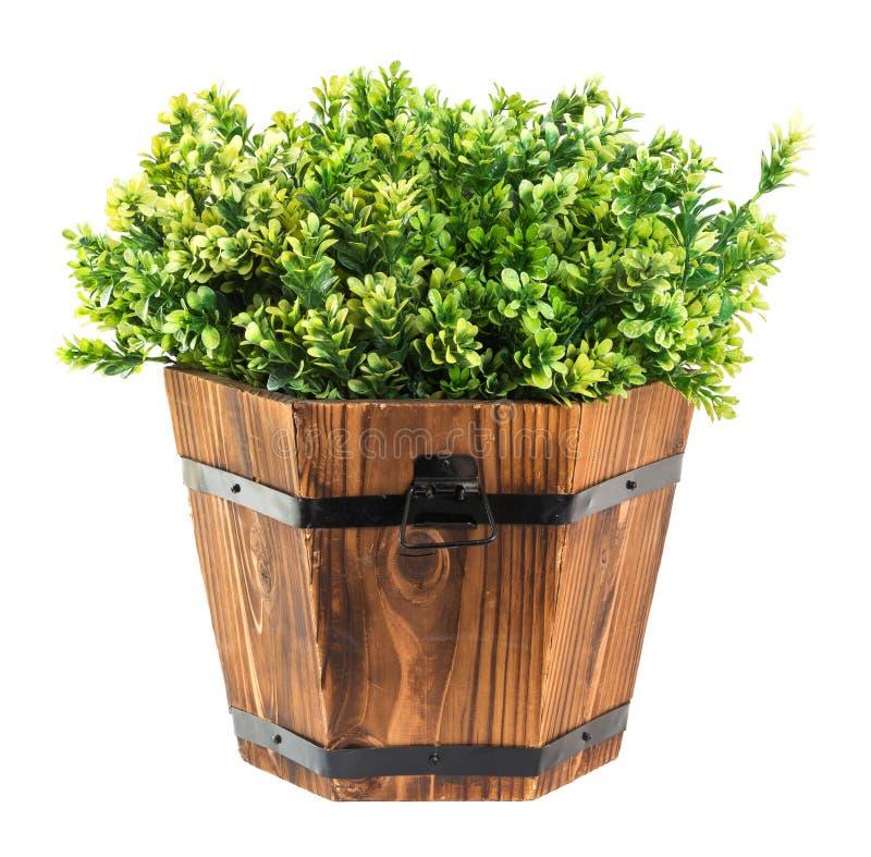 Scelta verde del legno di bosso in secchio di legno fotografie stock