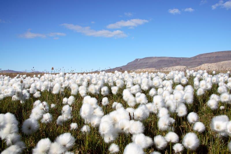 Scena artica dell'erba di cotone immagini stock
