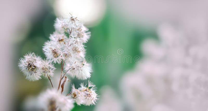 Scena con i fiori lanuginosi, macro vista di natura morta di ora legale Bello fondo floreale del fondo… con i fiori variopinti Pr fotografie stock